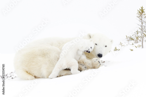 Wall Murals Polar bear Polar bear mother (Ursus maritimus) playing with two new born cubs, Wapusk National Park, Manitoba, Canada