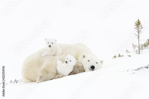 La pose en embrasure Ours Blanc Polar bear mother (Ursus maritimus) playing with two new born cubs, Wapusk National Park, Manitoba, Canada