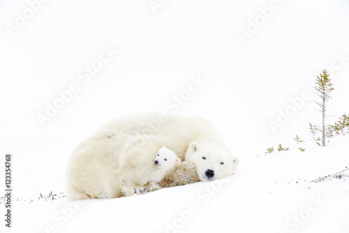 Tuinposter Ijsbeer Polar bear mother (Ursus maritimus) sleeping on tundra with new born cub sheltering, Wapusk National Park, Manitoba, Canada