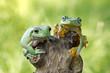 Two dumpy tree frogs sitting on tree stump, Indonesia