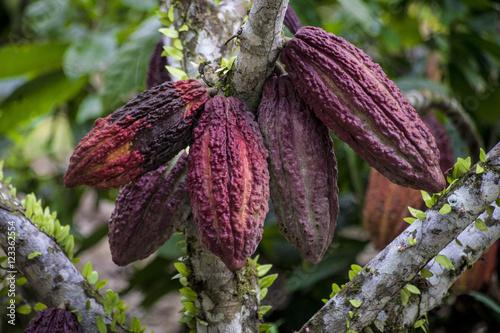 Fotografía  arboles de cacao