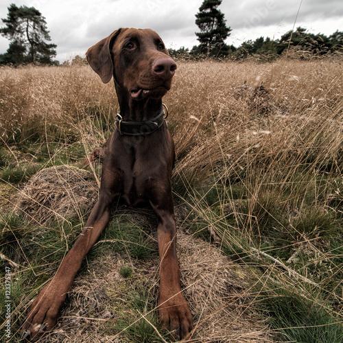 Recess Fitting Dog bruine dobermann
