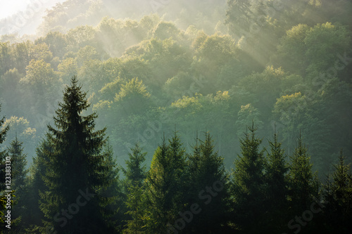 spruce forest on foggy sunrise in mountains