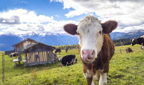 Deurstickers Koe Kuh auf der Alm in den Alpen