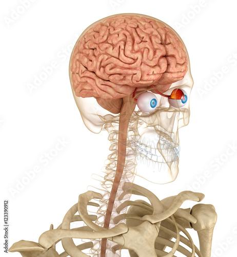 anatomia-oczy-i-szkielet