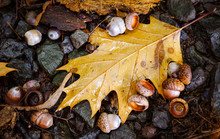 Oak Leaf And Acorns On The Ground