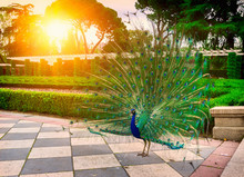 Peacock In The Buen Retiro Park. Retiro Park Is One Of The Largest Parks Of The City Of Madrid, Spain