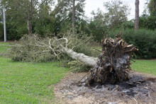 Fallen Tree During A Hurricane