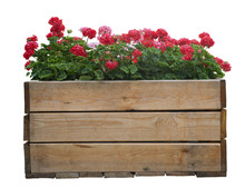 Large Wooden Pot With Red Geranium Flower, Isolated On White