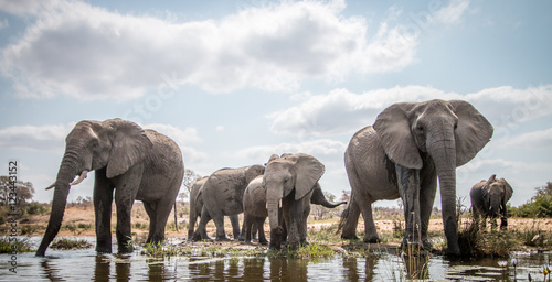 Poster Olifant Drinking herd of Elephants.