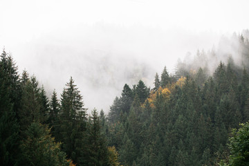 Fototapetamountains with fir trees covered with fog