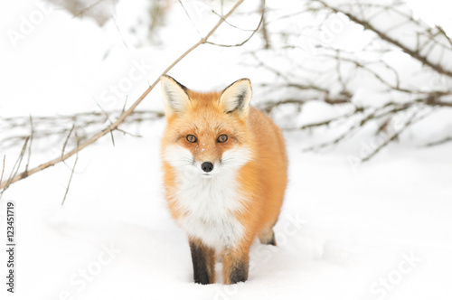 A Red fox (Vulpes vulpes) with a bushy tail isolated against a white background walking in the winter snow in Algonquin Park, Canada