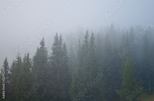 Fototapeten Wald Pine trees covered in grey mist