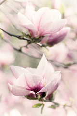 FototapetaBlossoming of magnolia white flowers in spring time, retro vintage hipster image