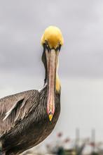 Portrait Of Brown Pelican Perching Against Sky