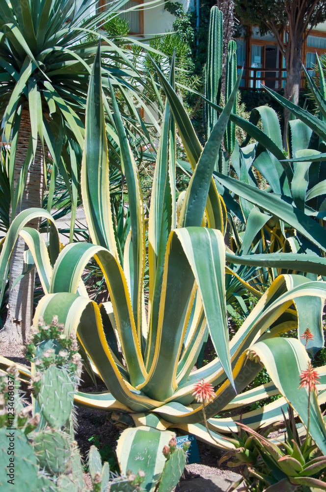 The Beautiful Blue Green Of An Agave Cactus In Turkey Big Blue