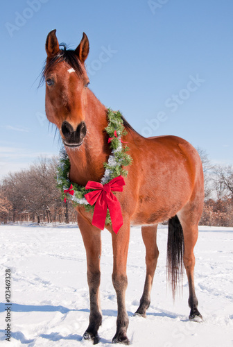 Bay Arabiabn horse in snow with a Christmas wreath around his neck - concept of gift horse