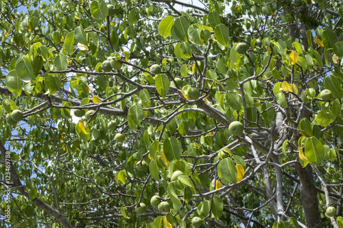 Deadly manchineel tree with fruit