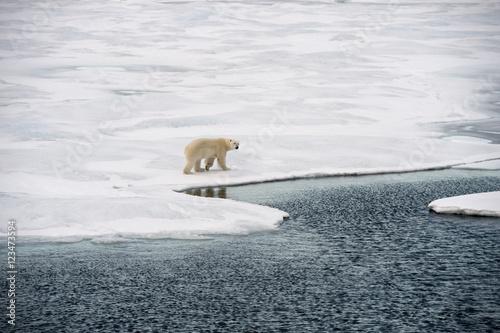 Wall Murals Polar bear Polar bear walking on sea ice