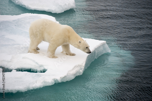Spoed Foto op Canvas Ijsbeer Polar bear walking on sea ice