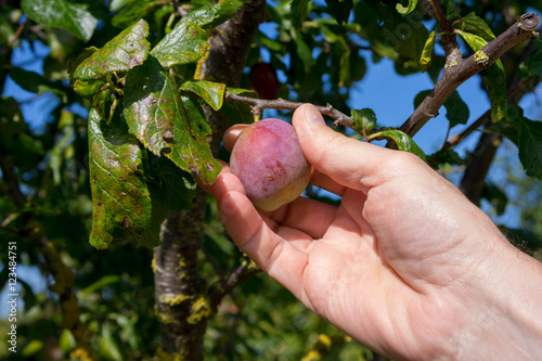 Picking Plums Variety Is Marjorie S Seedling This