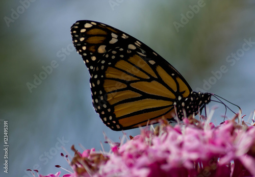 Canvas Prints Butterfly vlinder