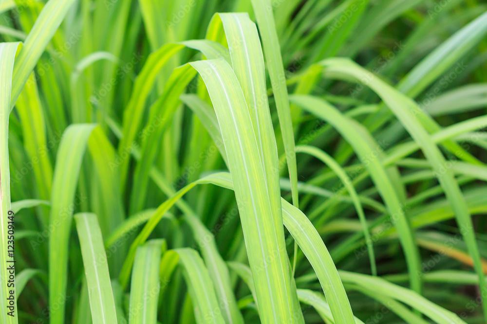 Fototapety, obrazy: lemon grass leaves texture