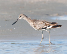 Spotted Sandpiper Walking On T...