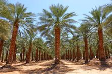 Date Palm Trees Plantation