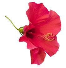 Vibrant Pink Hybiscus Flower, Mallow Family, Isolated