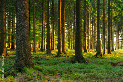 Fotobehang Bossen Spruce Tree Forest in the Warm Light of the Setting Sun