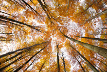 Forest Of Tall Beech Trees In Autumn, Low Angle Shot