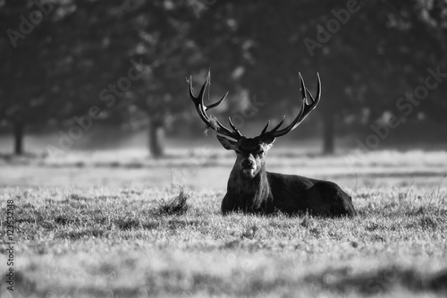 Fototapeta Red deer in black and white on the grass