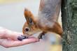 squirrel eating from hands. Belarus Gomel Park