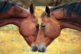 Fototapeta Konie - Horse love and tenderness