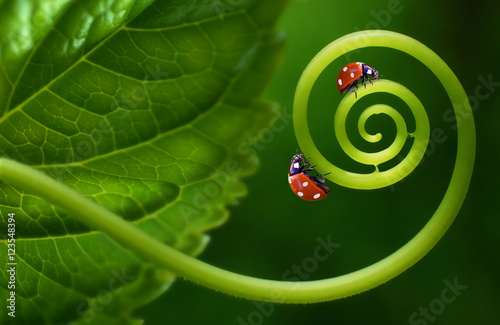 Türaufkleber Makrofotografie Two insects ladybirds on leaf curl spiral on a soft blurred green background. Original concept of the idea, beautiful cheerful colorful artistic image for children. Macro close-up.