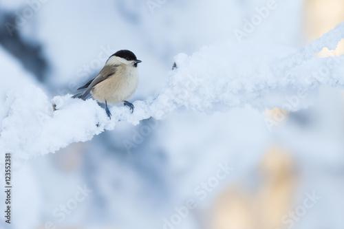 Fototapeta premium Sikora wierzby w zimowy krajobraz