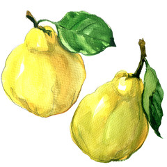 ripe quince fruit with leaf isolated, watercolor illustration on white