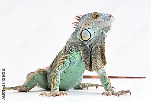 Fototapeta skin lizard