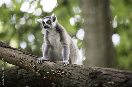 Ring-tailed lemur Billede på lærred