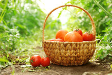 Freshly Picked Tomatoes In A Basket On Natural Background