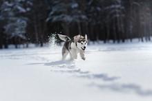 Dog Breed Siberian Husky Runni...