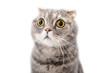 Leinwandbild Motiv Portrait of a frightened cat closeup. Breed Scottish Fold..