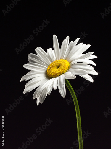 In de dag Madeliefjes Beautiful Daisy isolated on a black background.