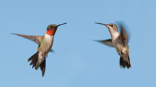 Two Ruby-throated Hummingbirds, A Male And Female, Flying With A Blue Sky Background