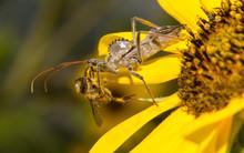 Wheelbug Eating A Bee