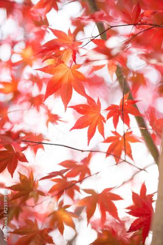 Papiers peints Corail 紅葉