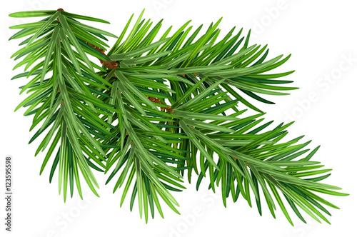 Green fluffy pine branch. Isolated on white background Fototapeta