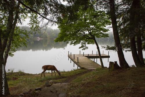 Whitetail Deer Grazing near Lake Pier Poster