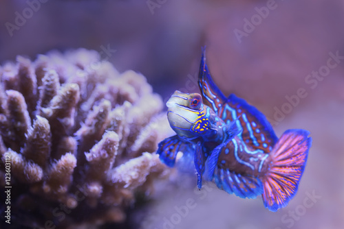 Poster Onder water Mandarinfish are reef dwellers, preferring sheltered lagoons and inshore reefs.